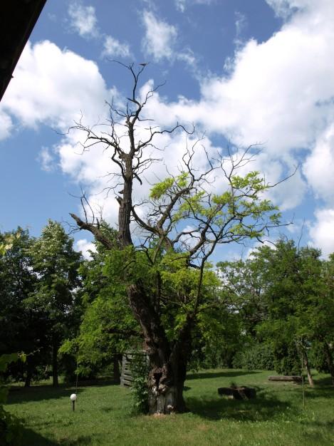 ipotesti copac