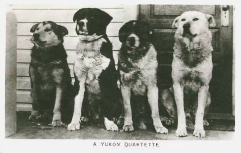 yukon-territory-sled-dogs-animals-canada